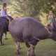 girl on carabao guam