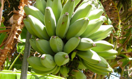 Bananas Fresh Factor Guam