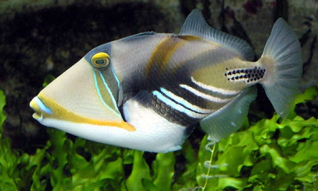 picasson triggerfish on guam