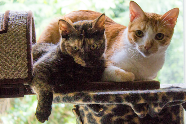 Kashmir Alfie Cats Guam