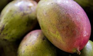 Farm to Table Guam Mangos