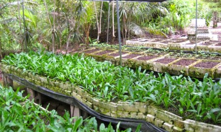 Mariannes Nursery Cilantro Fresh Factor Guam
