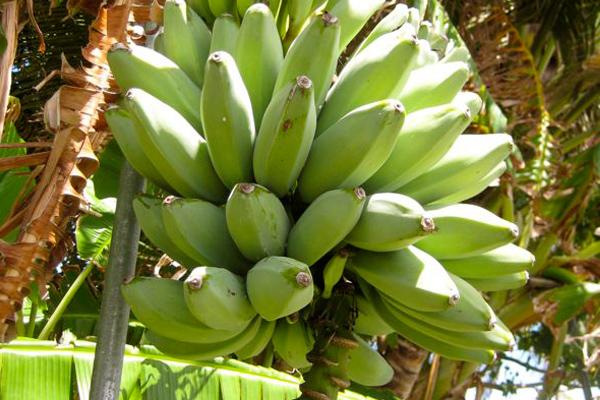 Bananas Fresh Factor Guam
