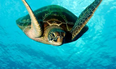 Sea Turtle Underwater Guam